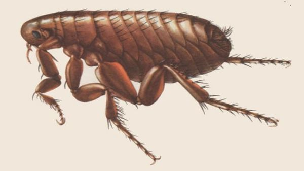 Antique close up image of a flea