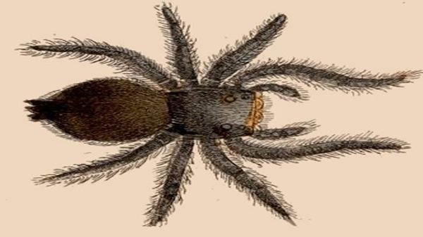 An antique etching of a spider