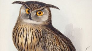 Eagle Owl (Bubo maximus) By Edward Lear