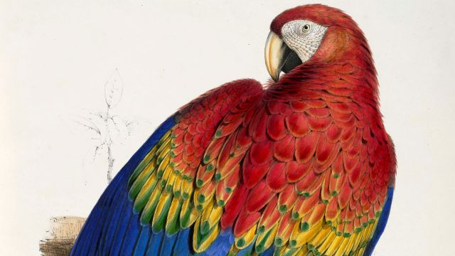 Macaw Painted By Edward Lear