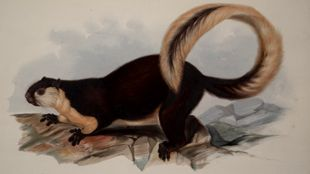 Lear's Painting Of An Animal From The Menagarie
